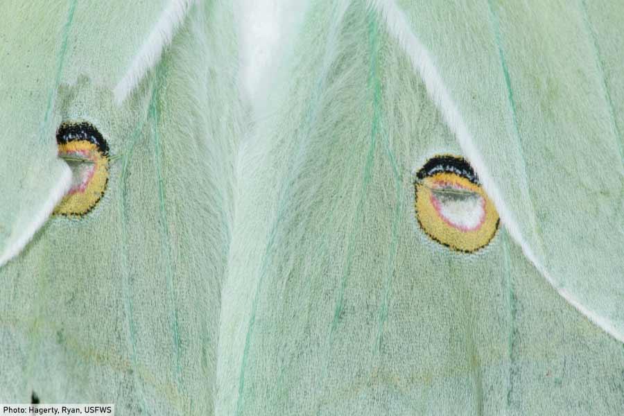 luna moth wings close up