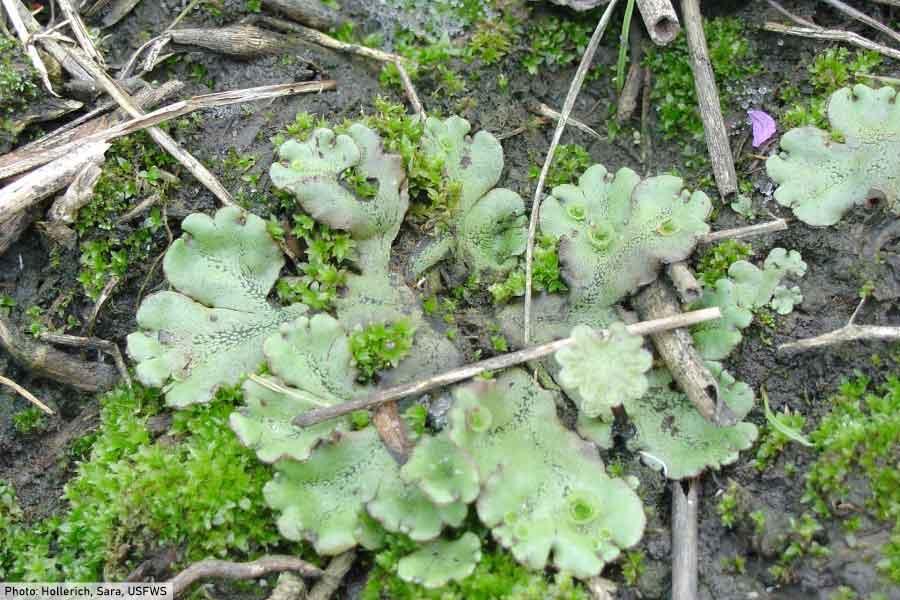 Scapania paludicola Liverwort