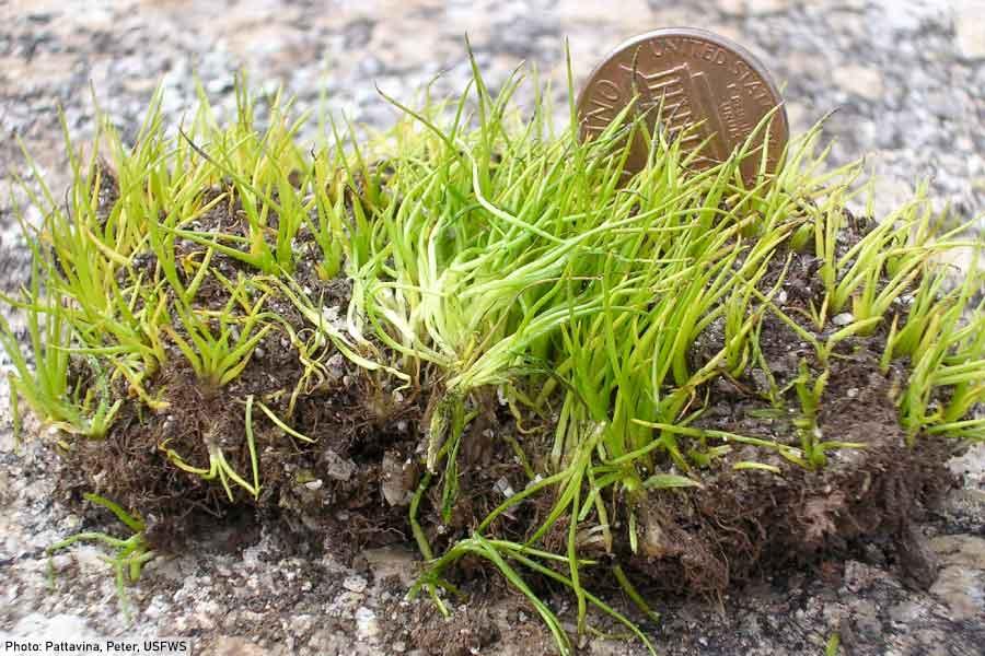 Quillwort Isoetes tegetiformans