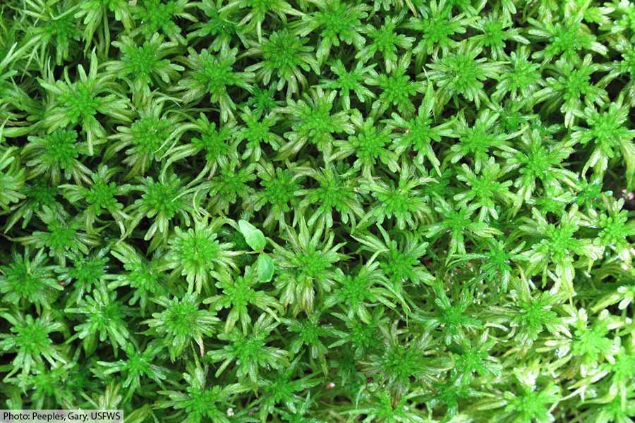 Sphagnum moss plants