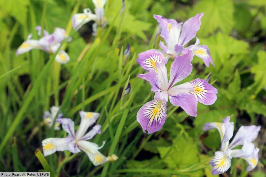 monocot flower wild iris