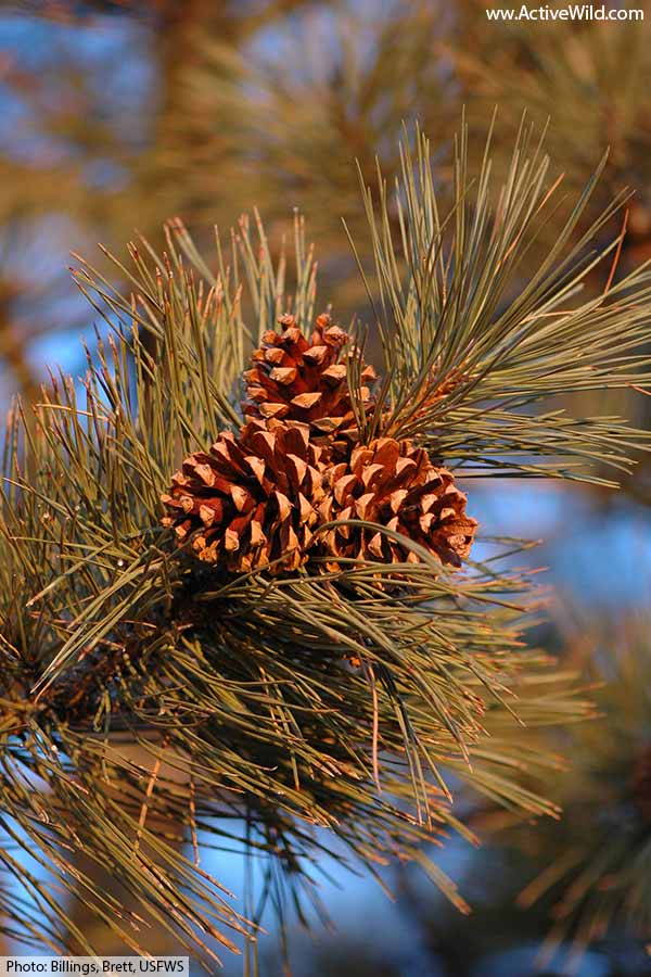 cones are the reproductive organs of conifers