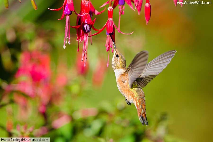 rufous hummingbird pollinating plant