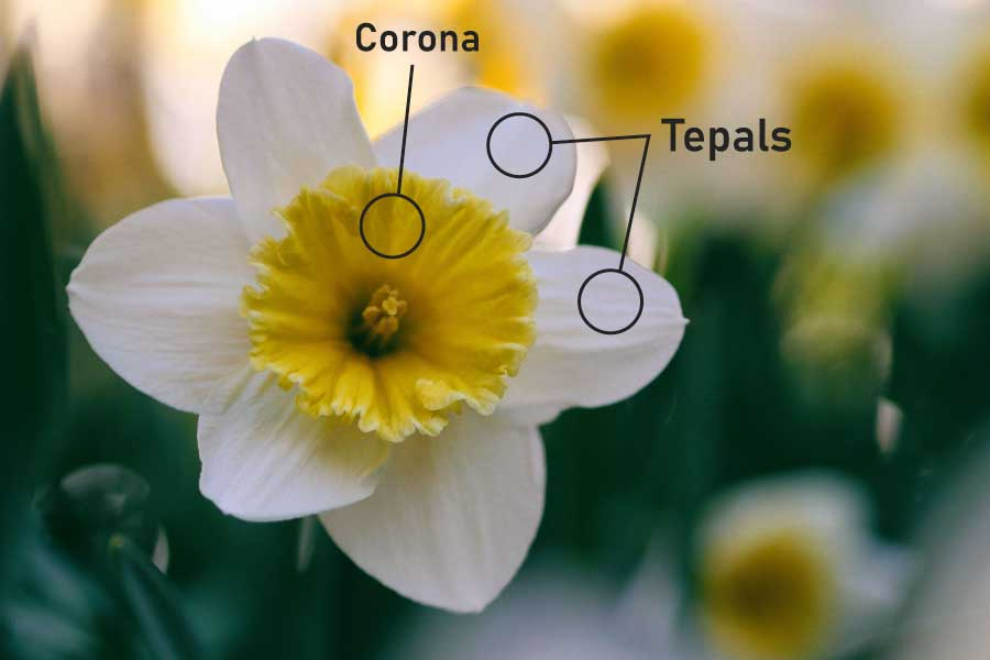 Parts of a flower corona and tepals