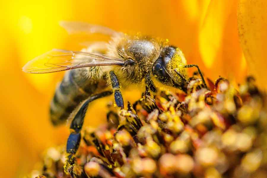 bee drinking nectar covered in pollen