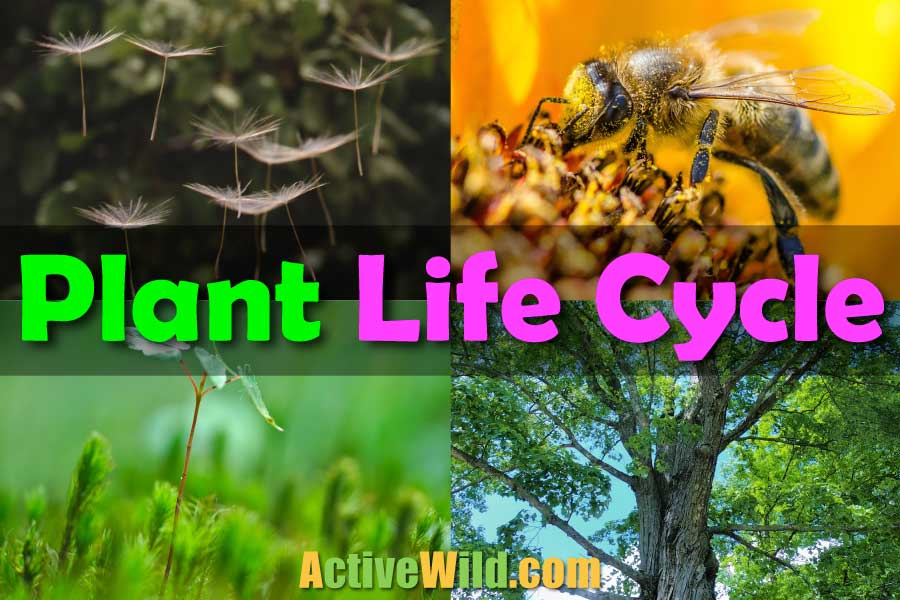 plant life cycle kids