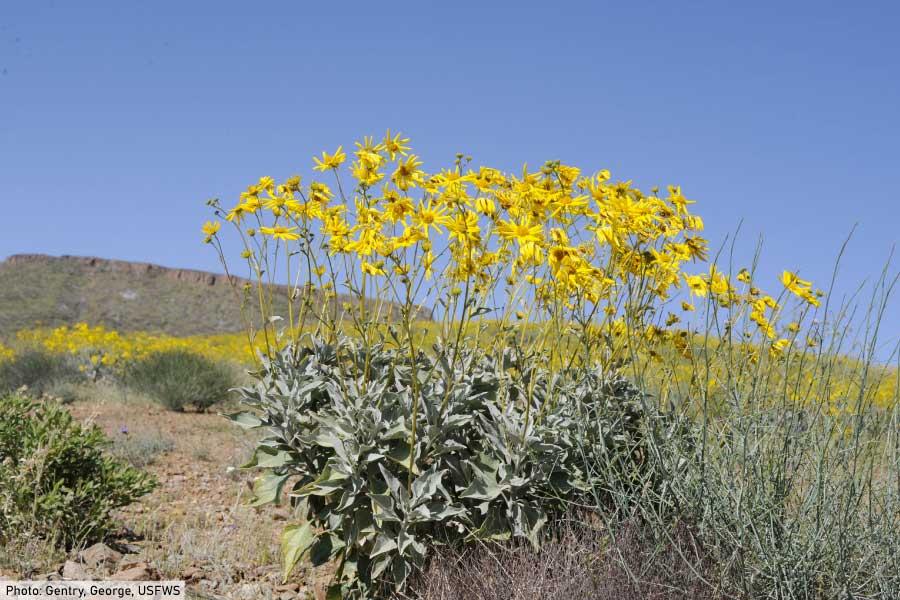 Brittlebush desert plant