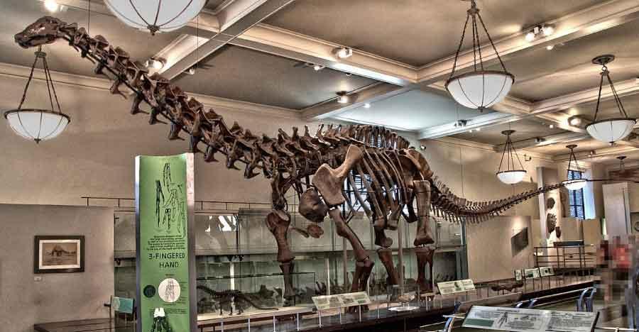 Brontosaurus in museum