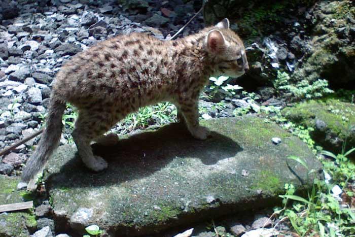 Leopard Cat Prionailurus bengalensis
