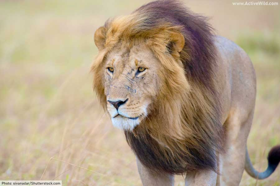 wild cats list - male lion