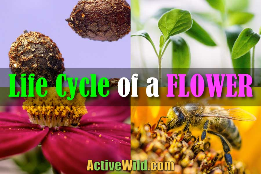 The Life Cycle Of A Flower