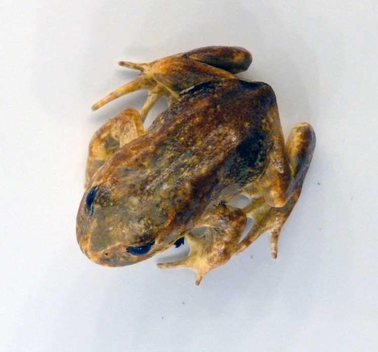 Baw Baw Frog