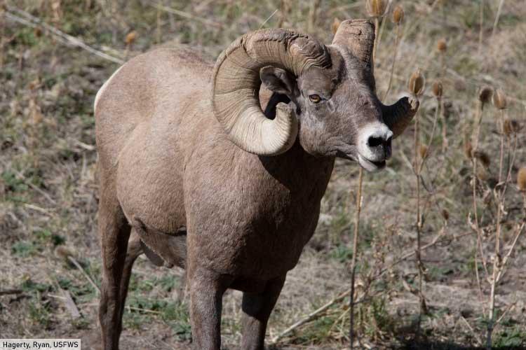 Bighorn Sheep Mountain Animals