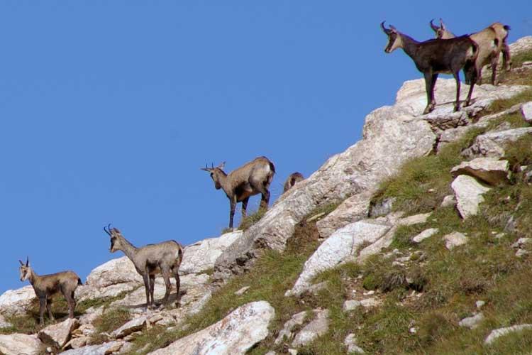 Chamois on a mountain