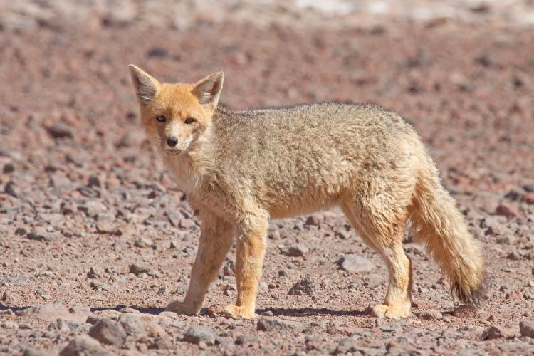 Culpeo Wild Dog