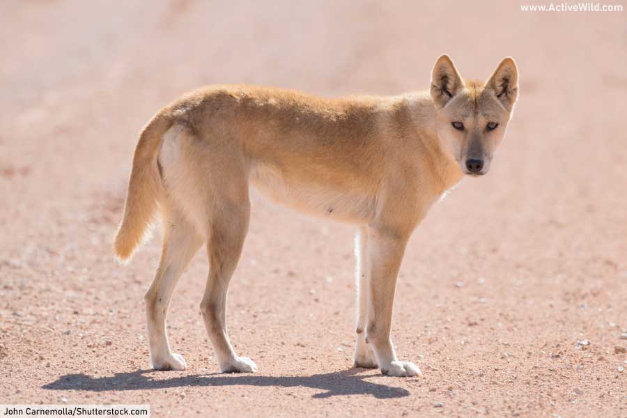 Dingo Australian Wild Dog Species