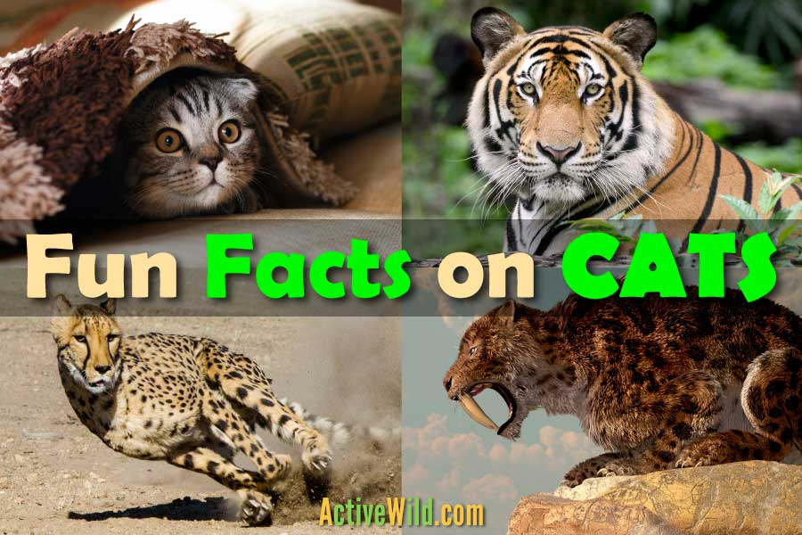 Fun Facts On Cats