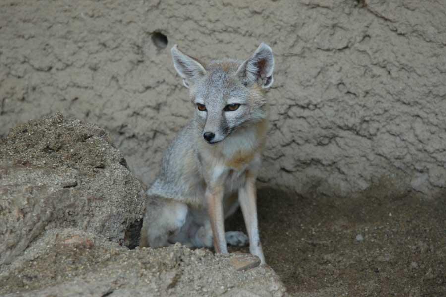 Kit Fox Desert Animal