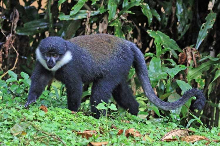 L'Hoest's monkey: the mountain Monkey