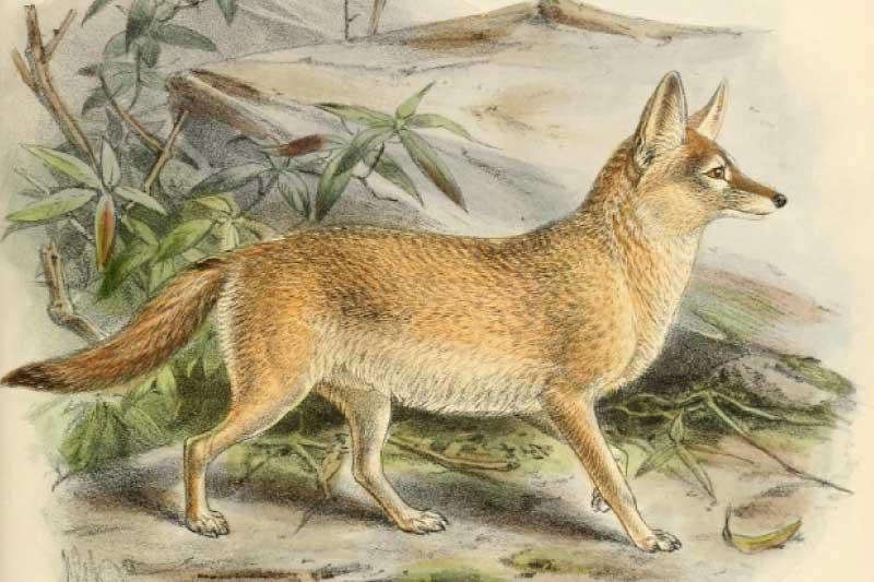 Pale Fox Vulpes pallida