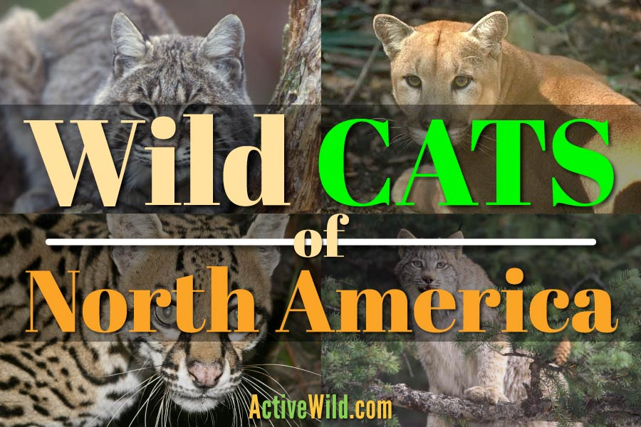 Wild Cats of North America