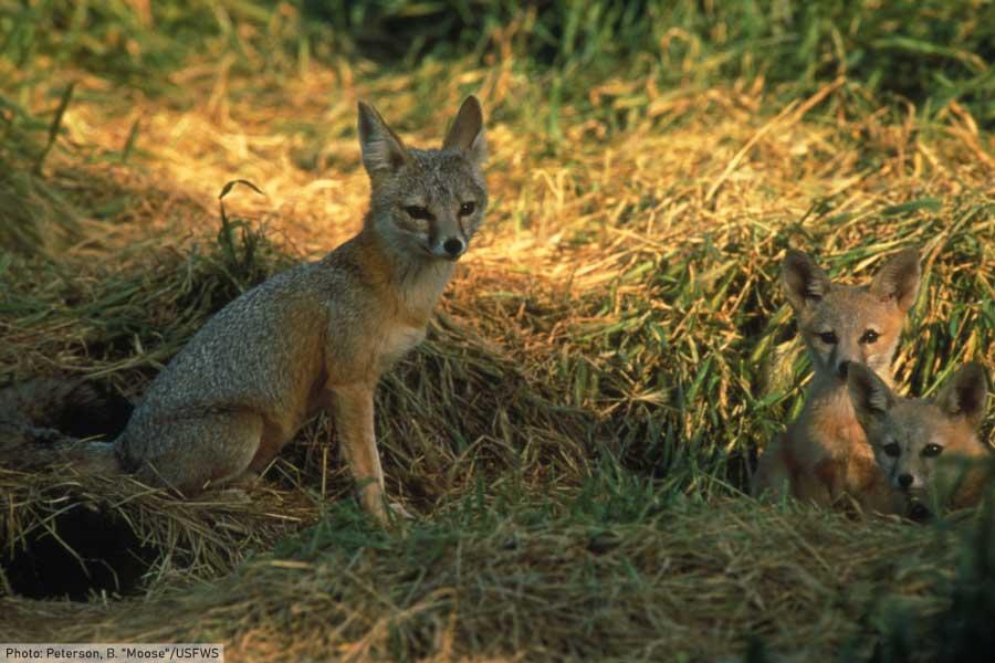 kit fox facts