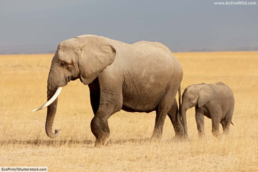 African bush elephant and calf