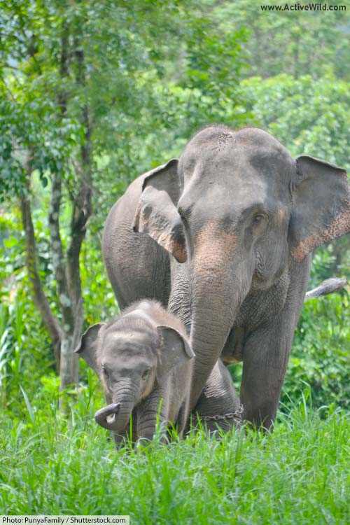 Asian elephant and calf