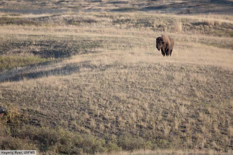 Bison in Grassland