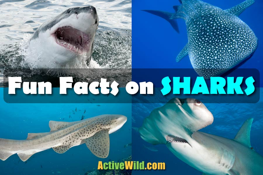 Fun Facts On Sharks