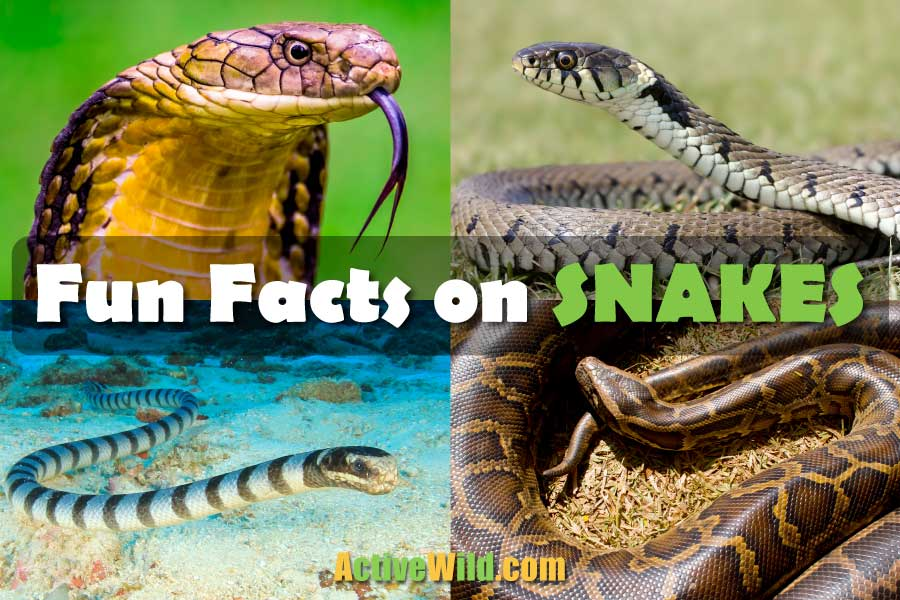 Fun Facts On Snakes