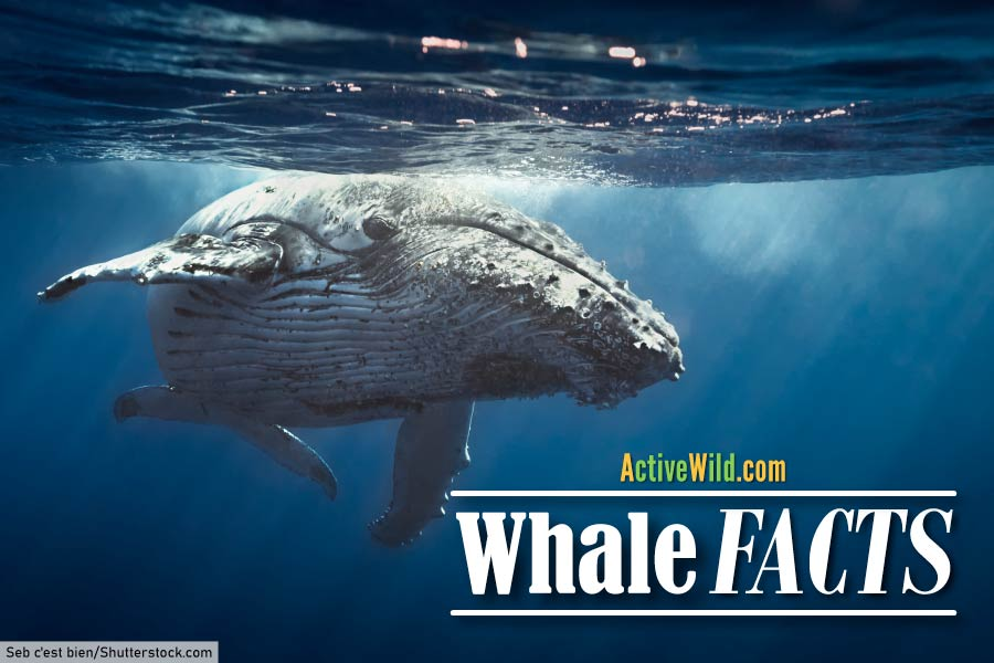 Fun facts on whales