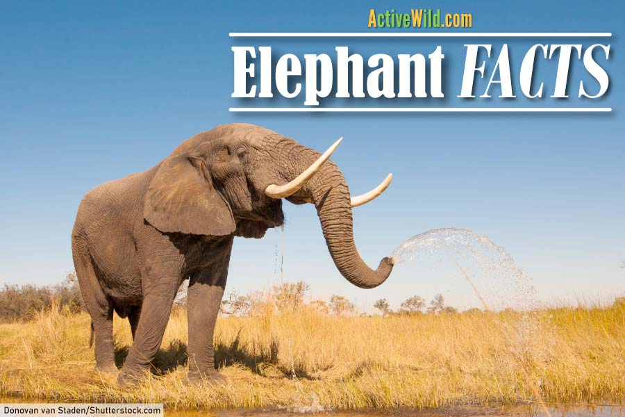 Fun Facts on Elephants
