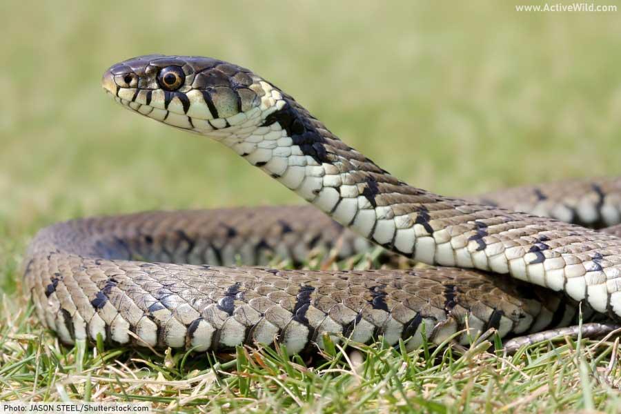 grass snake (Natrix natrix),