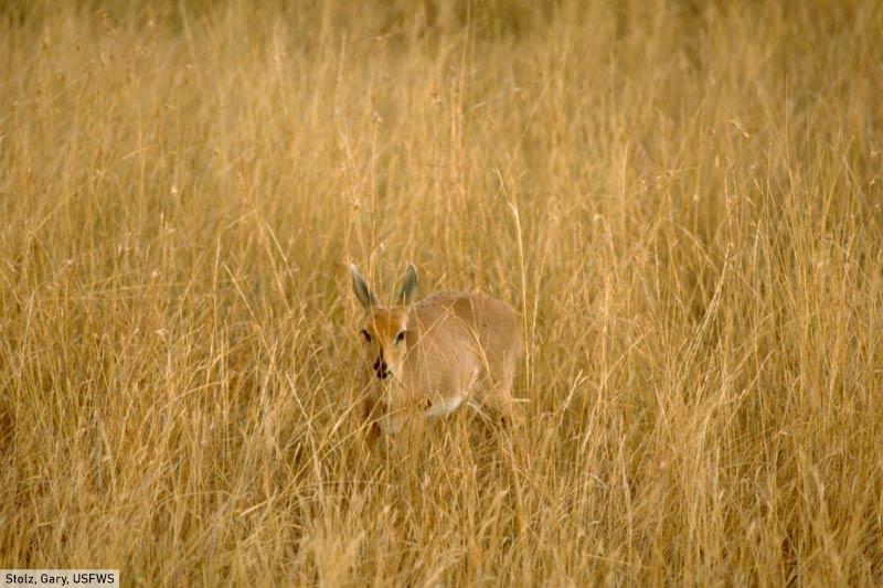 Grassland Animal Oribi Antelope