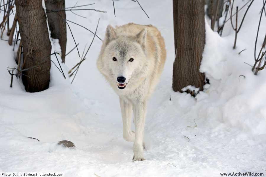 Arctic wolf subspecies of gray wolf