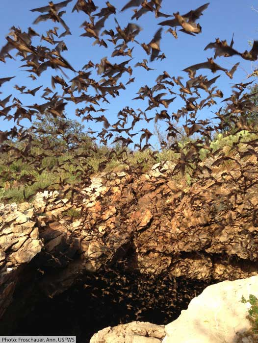 Bats in Texas leaving a communal roost