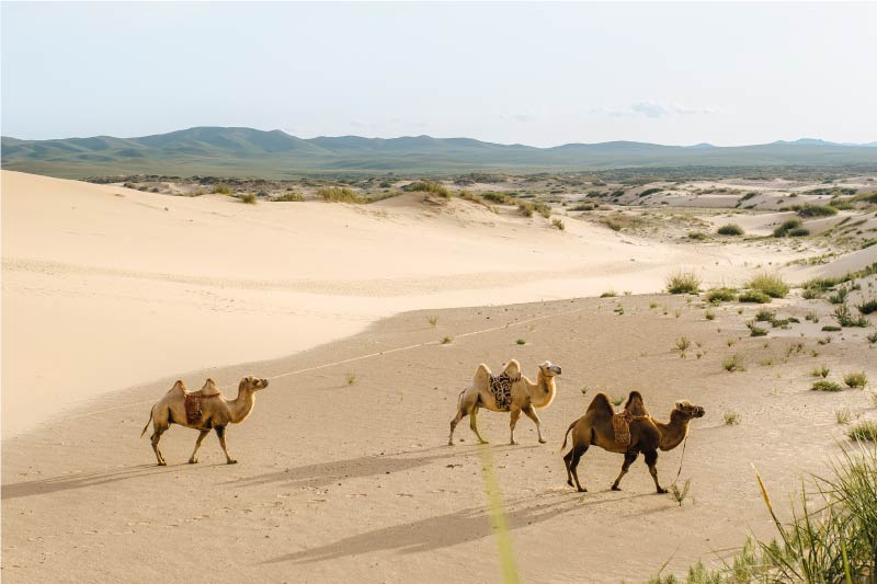 three bactrian camels in the Gobi Desert