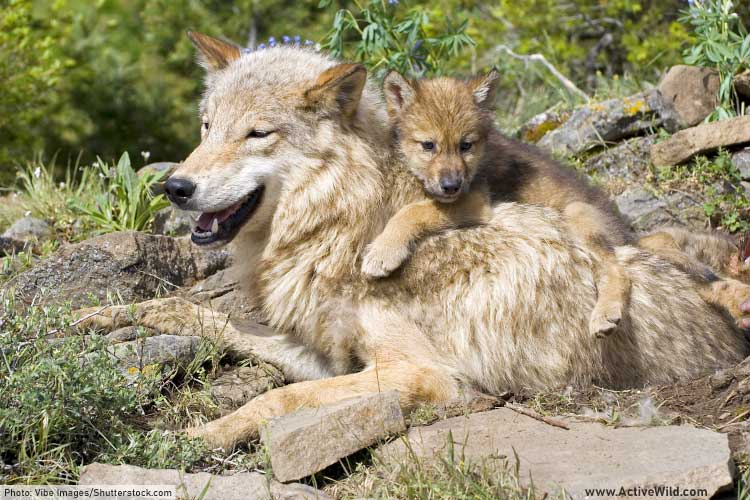 Gray wolf mother and cub