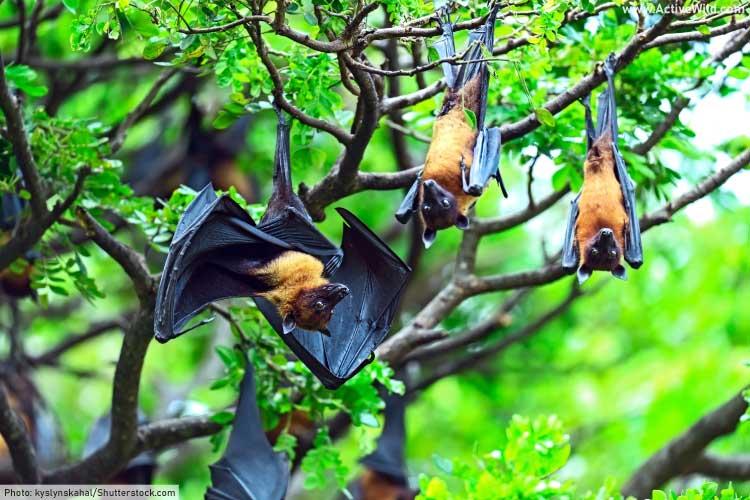 Indian Flying Fox Bats
