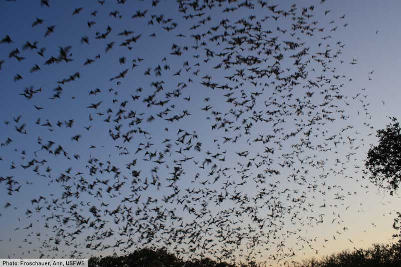 Mexican Free Tail Bats Leaving Cave