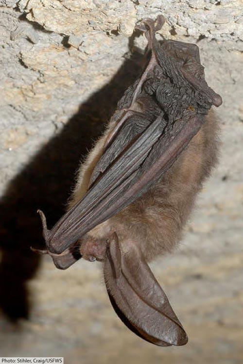 Virginia big eared bat