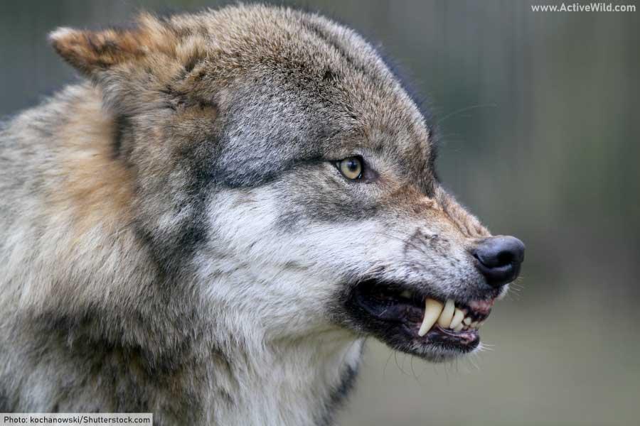 gray wolf snarling