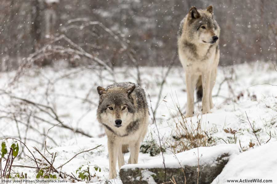 gray wolves in the snow