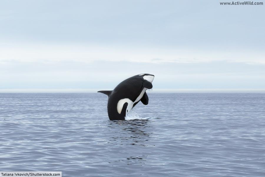 marine biome apex predator orca killer whale