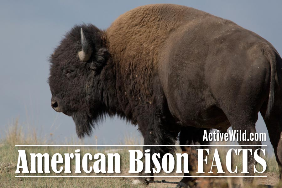 American bison facts