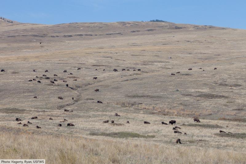 American buffalo herd