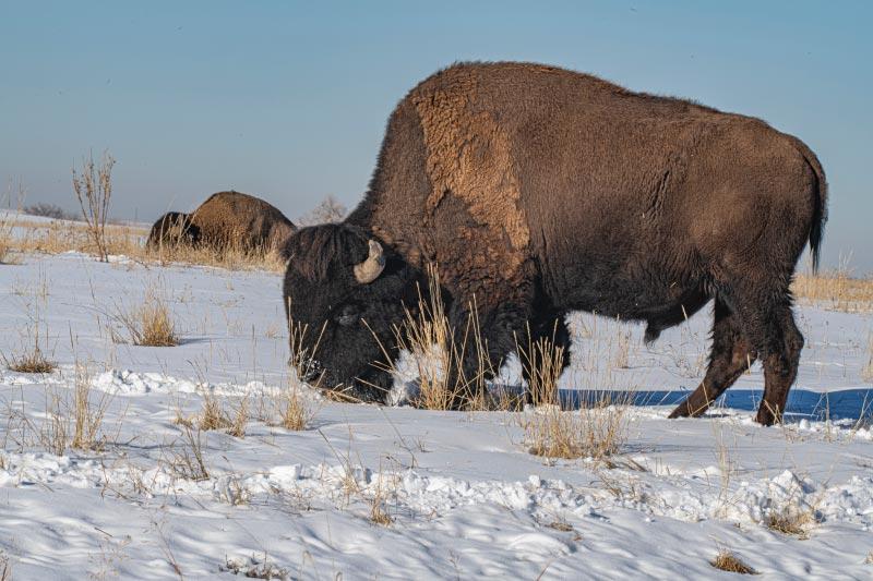 American buffalo in snow