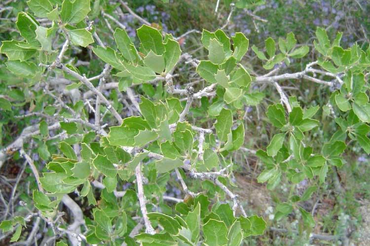 California-scrub-oak-tree-leaves
