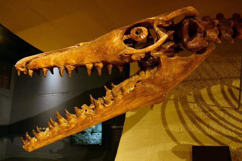 Skull of Mosasaurus hoffmannii.